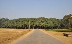Cây đa cổ thụ lớn như khu rừng ở Ấn Độ