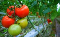 Ăn nhiều cà chua có thể làm giảm nguy cơ đột quỵ