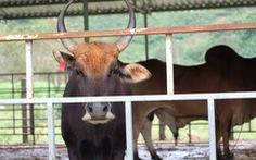 Gian nan duy trì hậu duệ… bò tót