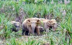 Lập đề án bảo vệ 15 voi hoang dã nhưng... chưa có tiền