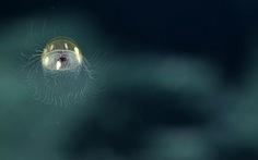 Lộ diện loài sứa tuyệt đẹp dưới lòng biển sâu