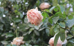 """""""Cò"""" ngang nhiên tăng giá vé ngay ngày đầu lễ hội hoa hồng"""