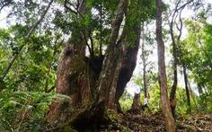 Kiến nghị lập vườn quốc gia pơmu Tây Giang
