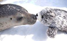 Chú hải cẩu cười tít mắt khi ôm gấu bông