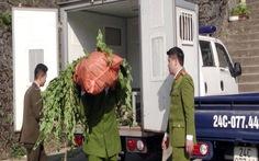 Lào Cai triệt phá cây thuốc phiện trồng trái phép