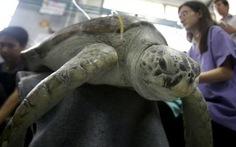 Du khách ném đồng xu, rùa Thái25 tuổi chết tức tưởi