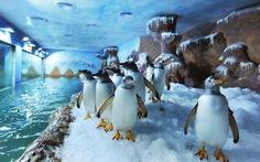 Đến Phú Quốc coi chim cánh cụt đùa giỡn, bơi lượn