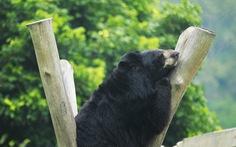 10 tỉ đồng xây nhà mới cho gấu Việt Nam hồi sinh