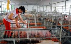 Chung tay 'cứu' ngành chăn nuôi heo
