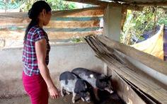 Điện Biên giải thích việc cấp heo giống giá cao cho người nghèo