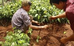 Chặt điều trồng tiêu - Ai sẽ giải cứu?