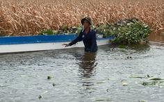Lũ lên nhanh, nông dân An Giang mất mùa bắp, khoai