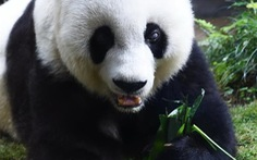 Gấu trúc già nhất thế giới qua đời, 'hưởng dương' 37 tuổi