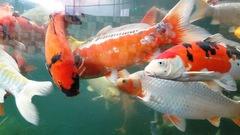 Chơi Tết với cá koi Nhật Bản giá tiền tỷ