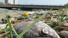 Cá chết trên sông Phú Lộc Đà Nẵng do thiếu ô xy