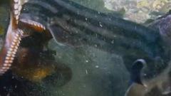 Những 'quái chiêu' tránh kẻ thù của bạch tuộc
