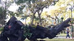 Video: Ngắm cây mai một trăm năm tuổi có giá hơn 10 tỉ đồng