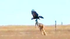 Video: Cuộc đại chiến giữa đại bàng và kangaroo