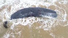 Video: Cá nhà táng 'khủng' mắc cạn bên bờ biển