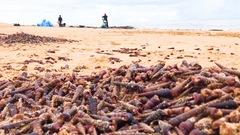 Video: Hiện tượng lạ, hàng tấn ốc xoắn dạt vào bờ biển Quảng Bình