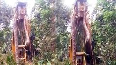 Video: Tá hỏa phát hiện trăn 'khủng' khi phát quang rừng