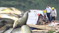 Video: Hơn 51 tấn cá chết trên sông Mã