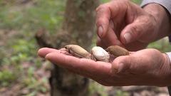 Video: Nông dân điêu đứng vì bọ cánh cứng ăn trụi vườn cây ở Bình Phước