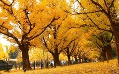 Độc đáo con đường rợp bóng bạch quả ở Nhật Bản