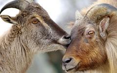 Động vật hôn nhau bày tỏ yêu thương ngọt ngào hơn cả người