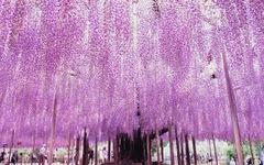 Thiên đường hoa tử đằng chờ bung nở rực rỡ tháng 5