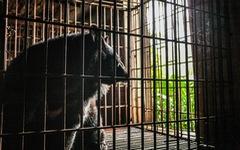 Hãy cứu những chú gấu gặm nỗi buồn trong cũi sắt