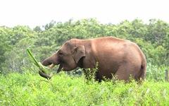 Hành trình kỳ diệu của voi Jun và Gold