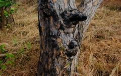 Tòa quân sự sẽ xét xử 6 người 'bức tử' rừng thông ở Đắk Nông