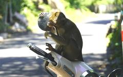 Đói ăn, đàn khỉ Vũng Tàu 'xuống núi'?