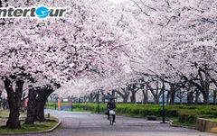Mùa hoa nổi tiếng ở Nhật - Hàn - Đài Loan