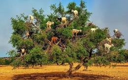 Đến Morocco xem dê leo cây