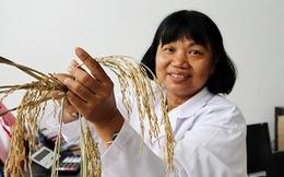 Trồng lúa ở miền Tây: chịu mặn chi bằng 'né' mặn