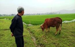 Nông dân thả bò ra đồng gặm cỏ phải đóng 'thuế'