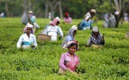 Cuộc sống kinh hoàng phía sau đồi trà xanh mướt ở Ấn Độ