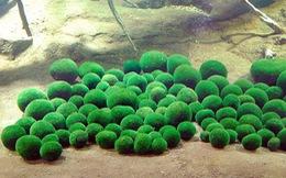 Những trái bóng rêu Marimo Nhật Bản