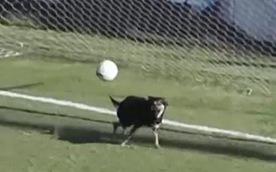 Video 'pha cứu thua ngoạn mục' của chú chó mực ở Argentina