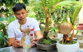 Độc đáo bonsai dừa của chàng trai Bến Tre