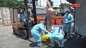 TP.HCM: Nửa tháng nữa mới tiêu hủy hết 3.750 con heo bị tiêm thuốc an thần