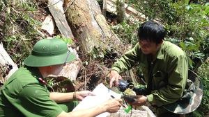Kiểm lâm ghi hình nhóm người đốn hạ 13 cây pơmu