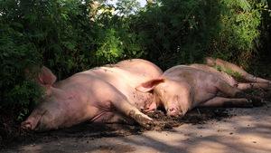 Thanh Hóa: gần 8.000 con heo bị chết do lũ