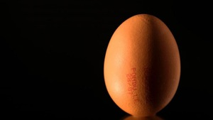 Gà đẻ trứng có thuốc trị ung thư