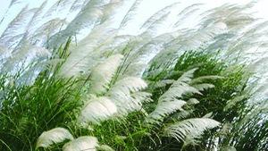 Có ai còn nhớ mùa gió chướng Tết năm xưa?