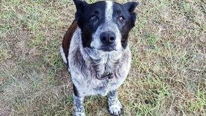 Nửa mù nửa điếc, chú chó vẫn bảo vệ cô bé đi lạc cả đêm