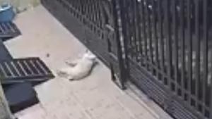 Video clip 'cẩu tặc' dùng súng điện bắn chó cảnh, chia sẻ mạnh