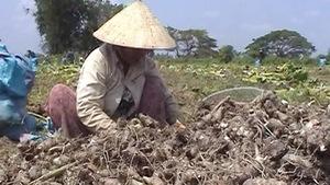 Người trồng khoai môn điêu đứng vì đối tác Trung Quốc 'xù' hợp đồng